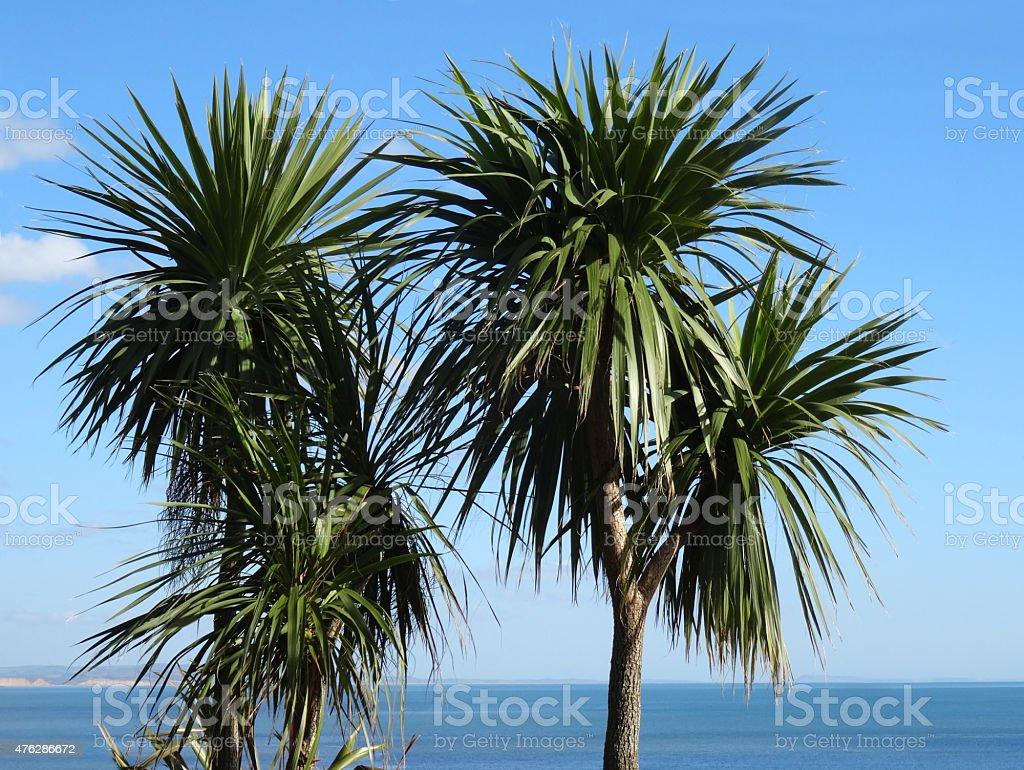 Image of seaside plants, green cabbage tree palms (cordyline australis) stock photo