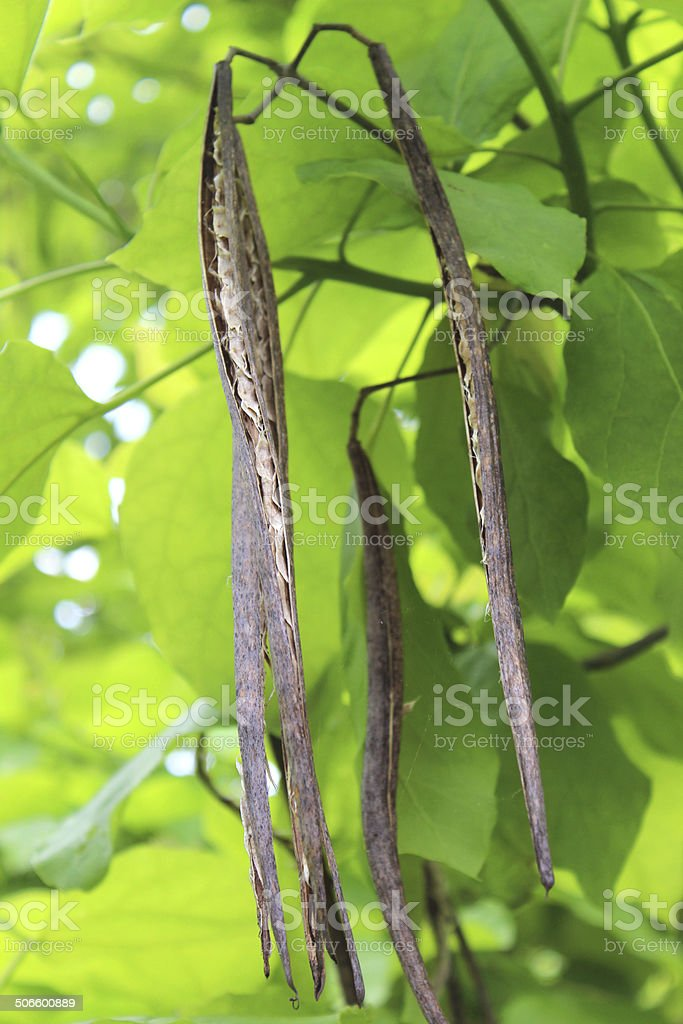 Image of seed pods hanging down, Indian bean tree (Catalpa-bignonioides) stock photo