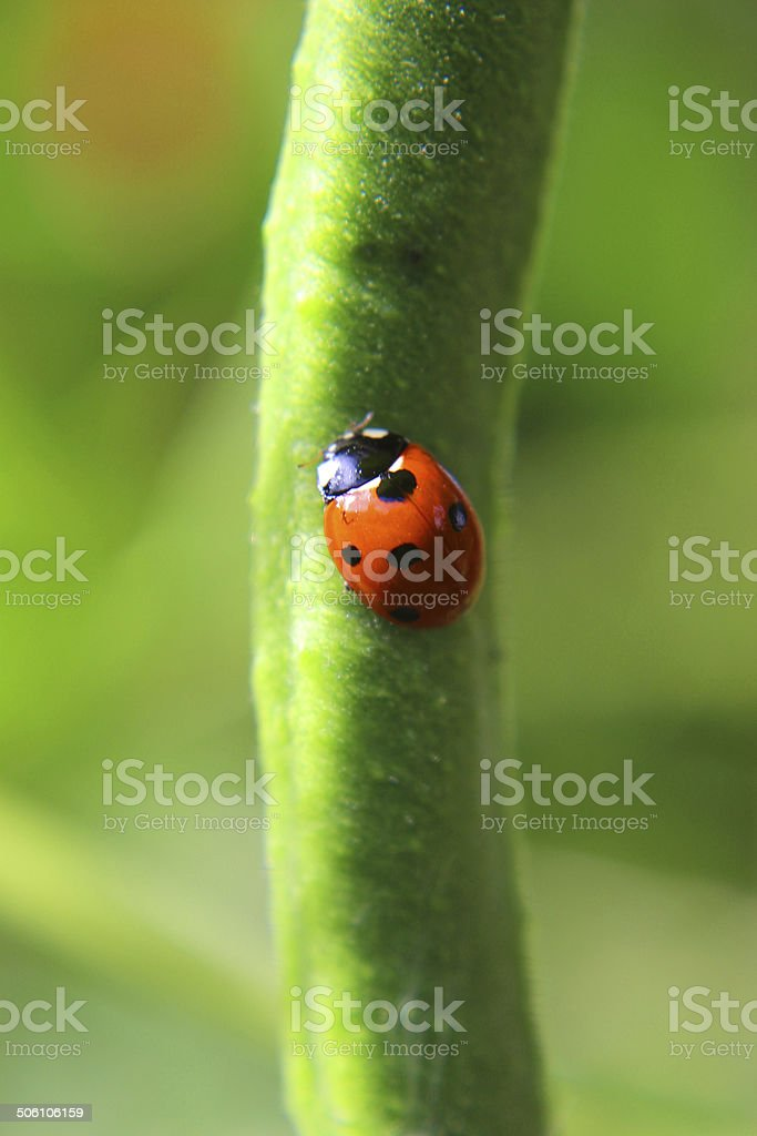 Image of seven-spot ladybird (Coccinella septempunctata), red and black ladybird stock photo