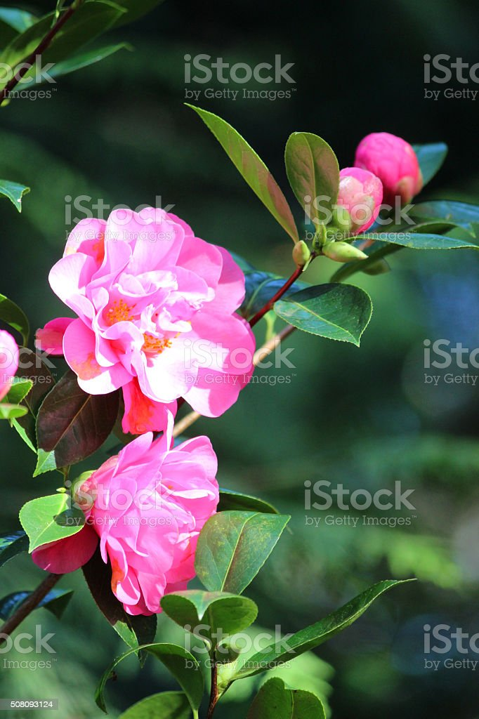 Image of shady garden with pink camellia flowers / ericaceous acid-soil stock photo
