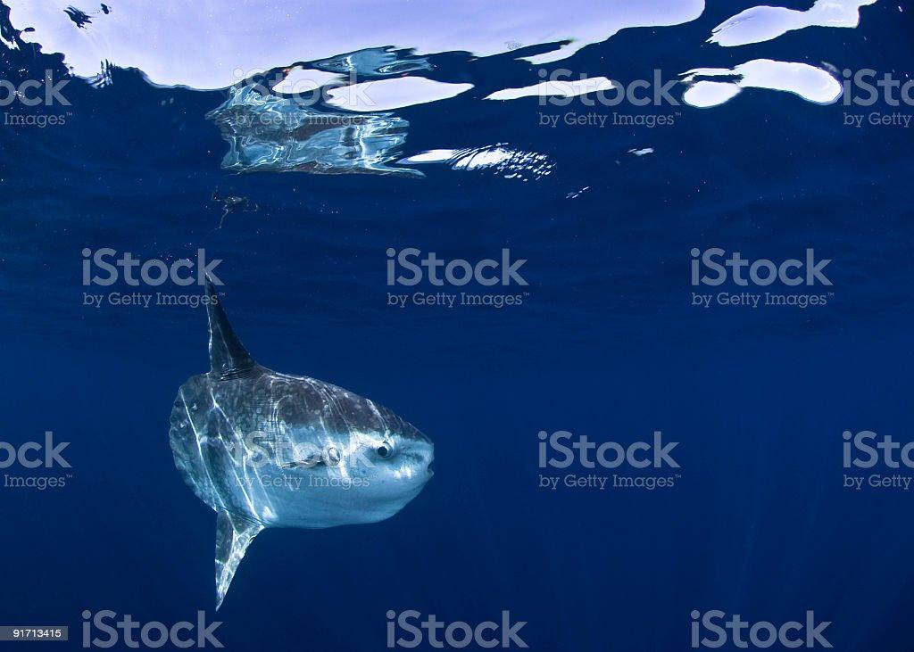 Image of shark underwater swimming stock photo