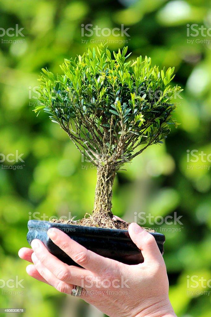 Image Of Shohin Small Buxus Bonsai Tree Held In Hand Stock Photo Download Image Now Istock