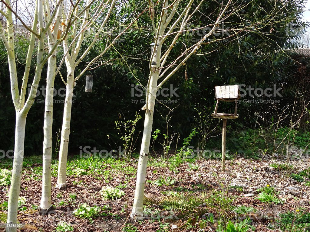Image Of Silver Birch Trees With Rustic Wooden Bird Table Stock