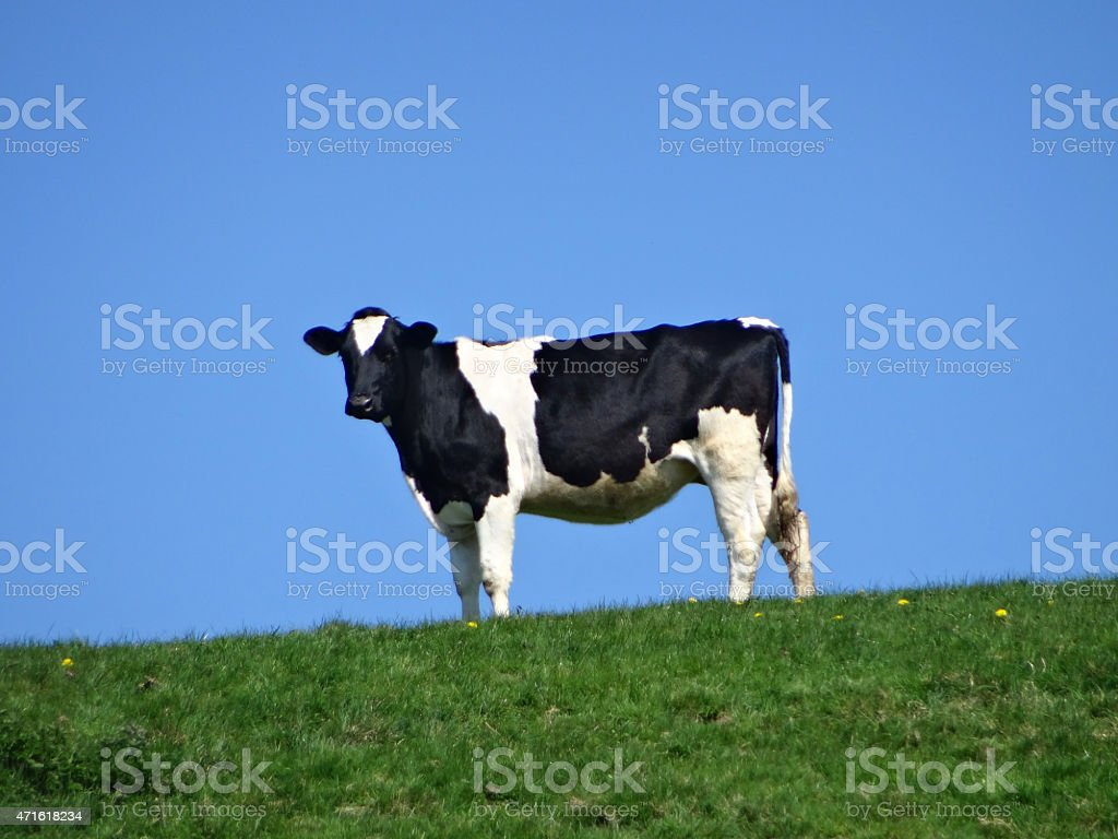 Image of single Holstein Friesian dairy cow, top of hill stock photo