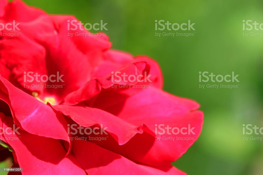 Stock photo of Close-up image of red rose and flowerbuds growing in...