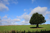 Image of single tree in green field of grass, short dumpy stumpy storm damaged hornbeam tree (carpinus betulus), isolated against blue sky with barbed wire fence and hedge in foreground