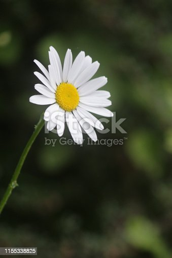 Stock photo of single wild daisy flower against blurred green wildlife garden background, cultivated flowering wild moon daisies growing in summer sunshine in England, UK, with detail of white petals and yellow pollen in centre of daisy flowers / bloom.