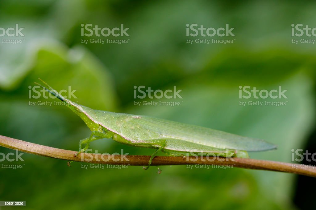Image of Slant-faced or Gaudy grasshopper on nature background. Insect Animal stock photo