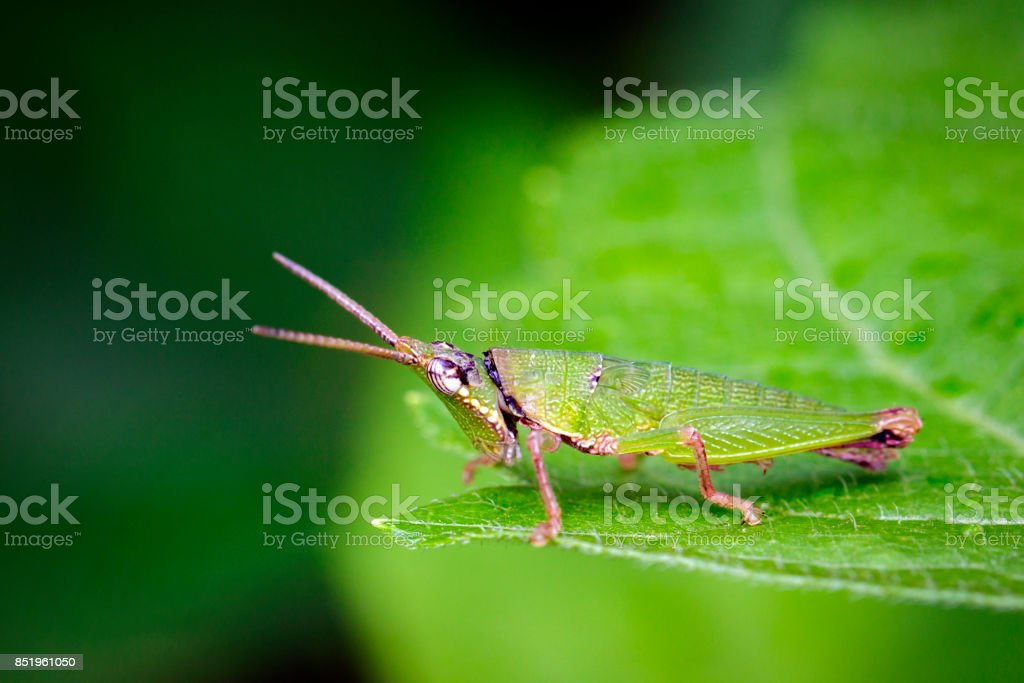 Image of Slant-faced or Gaudy Grasshopper on nature background. Insect. Animal stock photo
