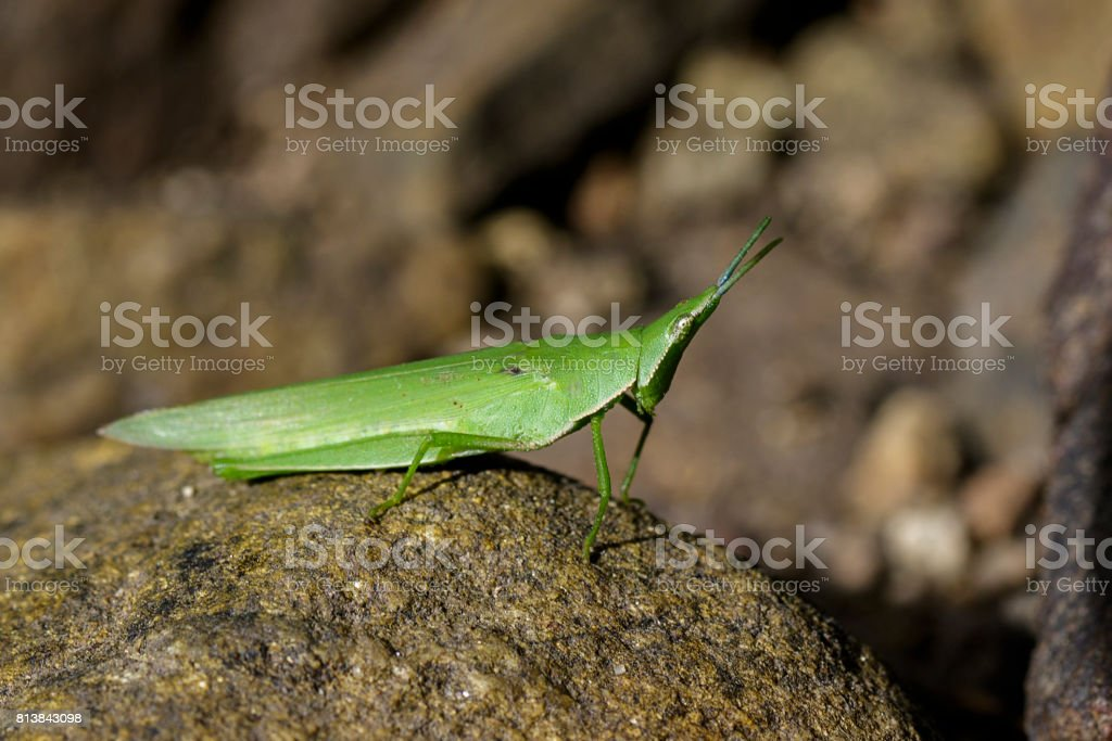 Image of Slant-faced or Gaudy grasshopper on the rocks. Insect Animal stock photo