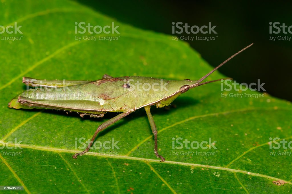 Image of Slant-faced or Gaudy grasshopper(Acrididae)on a green leaf. Locust, Insect, Animal. stock photo