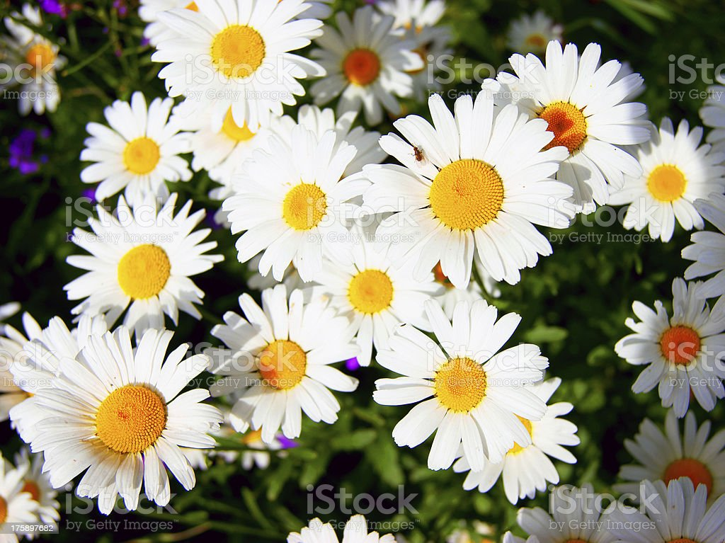 Image of small daisywheels royalty-free stock photo