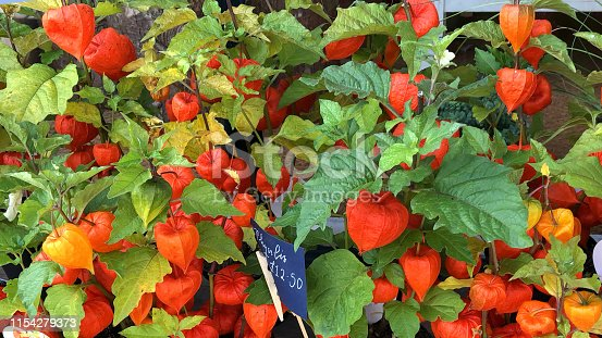 Stock photo of  small orange Chinese lanterns physalis plants growing in plastic flower pots outside florist / flower shop for autumn colour, patio pots in gardens or unusual houseplants on windowsill, ornamental Chinese lantern pot plants orange paper lanterns
