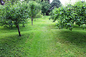 aerial photo taken with a drone above the green expanses of apple orchards with a dirt road that enters it