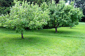 Photo showing a small orchard planted with fruit trees on dwarf root stocks, such as apple, pear and plum trees.  An informal pathway has been created through the orchard, by simply mowing part of the lawn shorter than the rest of the grass.