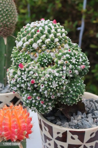 Stock photo showing a potted small prickly cactus plants in china pots top dressed with grey gravel.