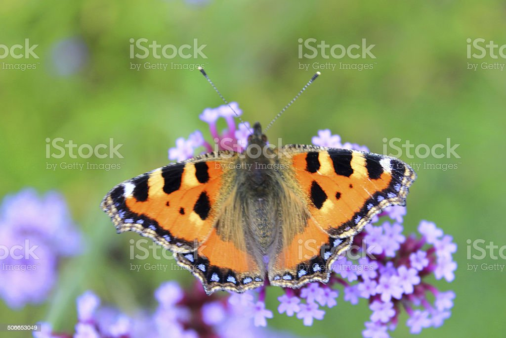 Image of small tortoiseshell butterfly (Aglais urticae), verbena bonariensis flowers stock photo