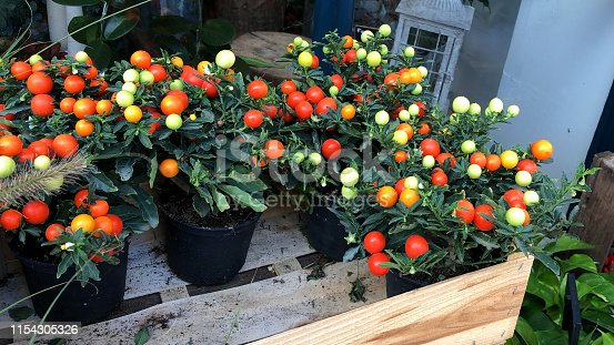 Stock photo of  small winter cherries / winter cherry plants growing in plastic flower pots outside florist flower shop autumn colour, Solanum pseudocapsicum houseplants windowsill, ornamental pot plants with oranges fruits like citrus, deadly nightshade family