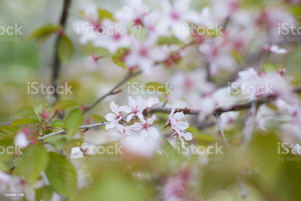 Image of Soft focus Cherry Blossom or Sakura flowers on nature background stock photo