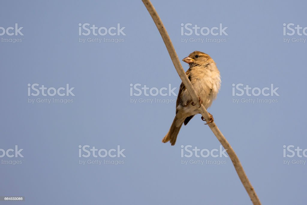 Image of sparrow on sky background. Bird royalty-free stock photo
