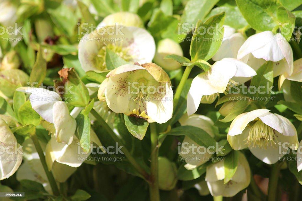 Image Of Speckled White Cream Hellebore Flowers Flowering
