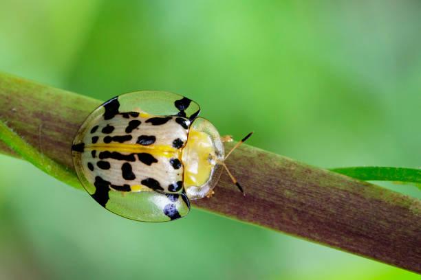 bild von spotted tortoise käfer (aspidomorpha millaris) auf zweigen. insekten tiere - babyschildkröten stock-fotos und bilder