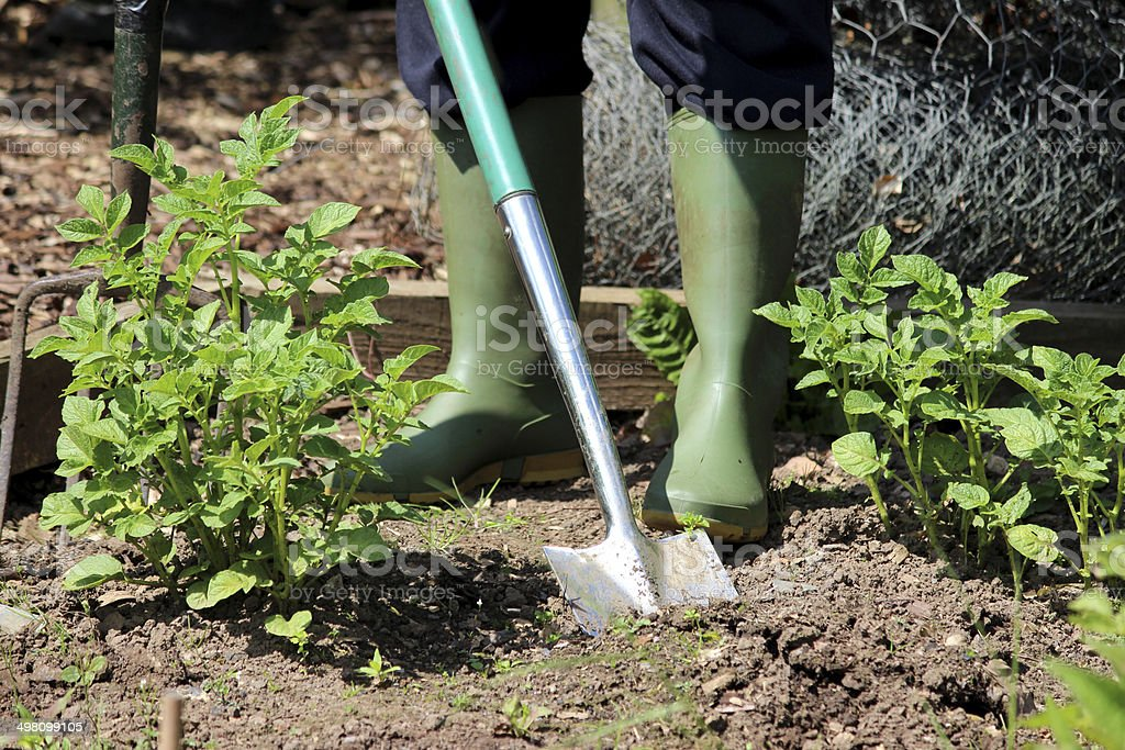 Image of stainless steel spade, digging in vegetable garden allotment royalty-free stock photo