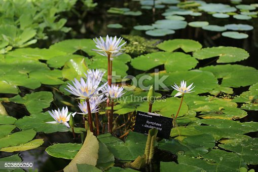 istock Image of star-shaped, white-flowers of nymphaea x daubenyana (tropical water-lily) 523855250