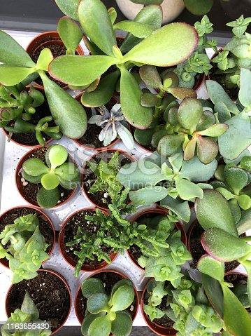 Stock photo of succulent plants, cacti, cactus house plants and indoor sedums for sale at garden centre florist shop in small plastic flower pots, easy to grow desert plants for windowsill of jade plants / money tree (crassula ovata), aloe succulents rosettes