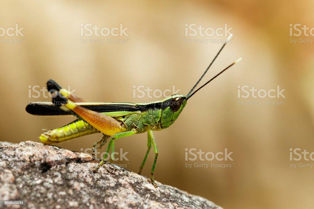 Image of sugarcane white-tipped locust (Ceracris fasciata) on a rock. Insect. Animal. Caelifera., Acrididae stock photo