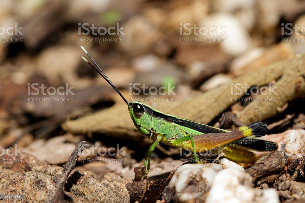 Image of sugarcane white-tipped locust (Ceracris fasciata) on nature background. Insect. Animal. Caelifera., Acrididae stock photo