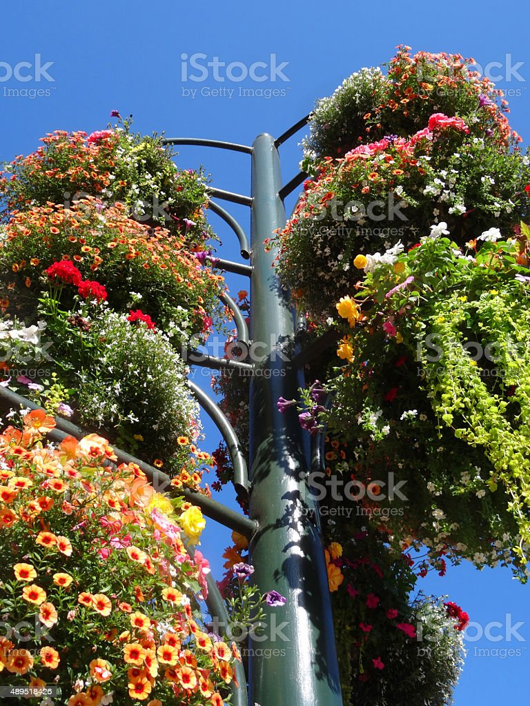 Image of summer bedding / annual flowers growing in hanging baskets stock photo