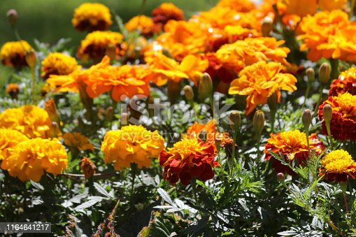 Stock photo of  in orange African marigold flowers in summer garden park, annual flowering marigolds tagetes gardening photo in full bloom with orange flowers, leaves, flowerbuds, bedding plants by lawn grass turf growing full sun
