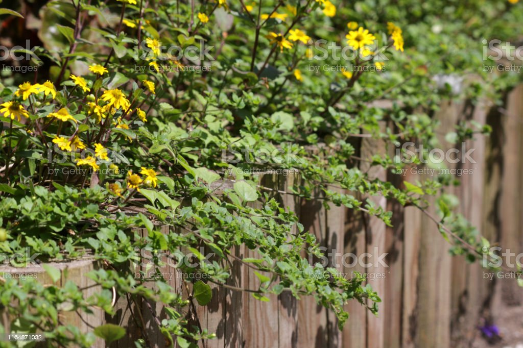 Image Of Summer Garden Park With Raised Bed Log Roll Edging Timber Fence Posts Raised Garden Bed Planted With Bidens Ferulifolia Trailing Yellow Aster Daisy Annual Flowers Daisies Bedding Plants By Lawn