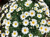 Stock photo of marguerite daisies growing in English summer garden in plastic plant pots, with silver green leaves, flowers and flowerbuds