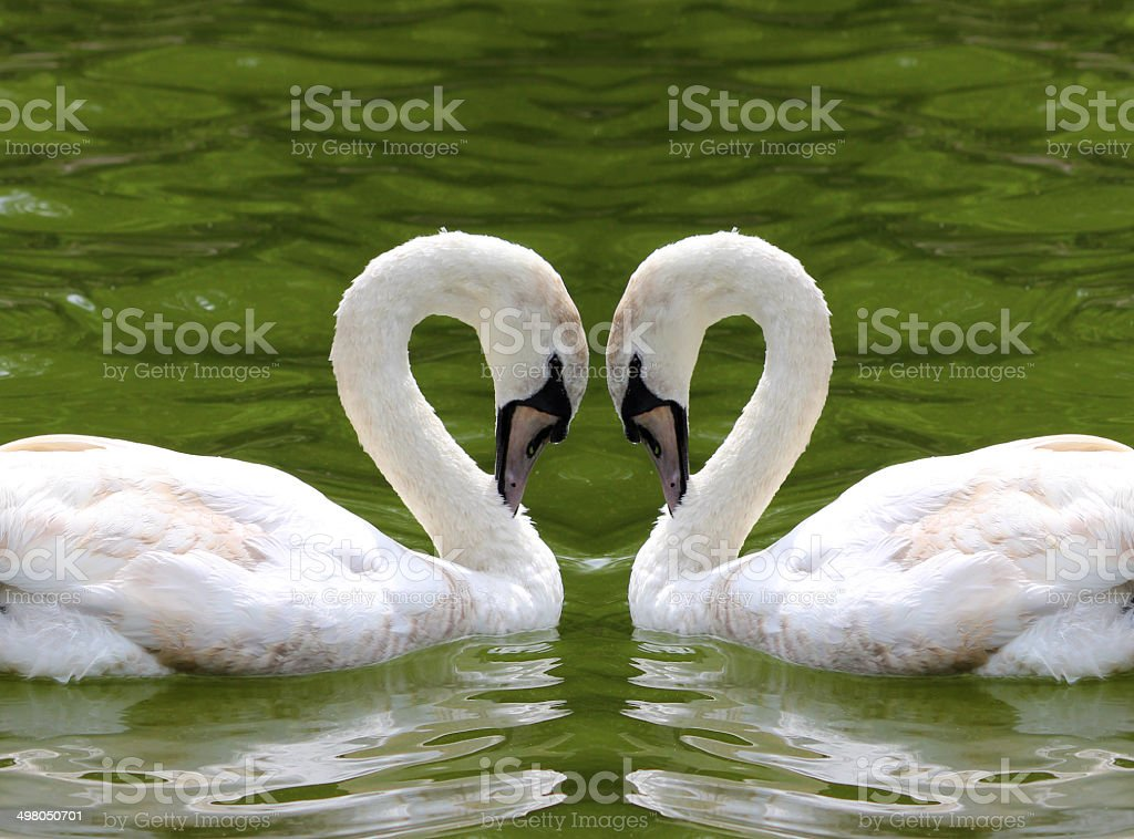 Image of swans forming a love heart with their necks stock photo