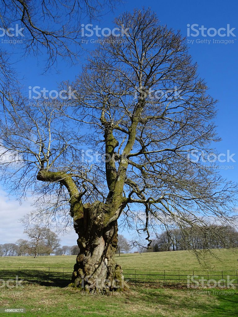 Image Of Sweet Chestnut Tree After Pruning Crownthinning Stock