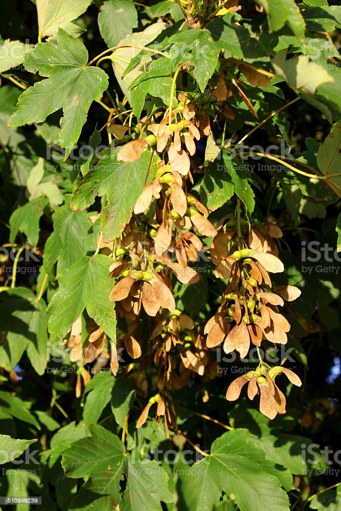 Image Of Sycamore Tree Seeds Helicopters Samaras Maplekeys Stock