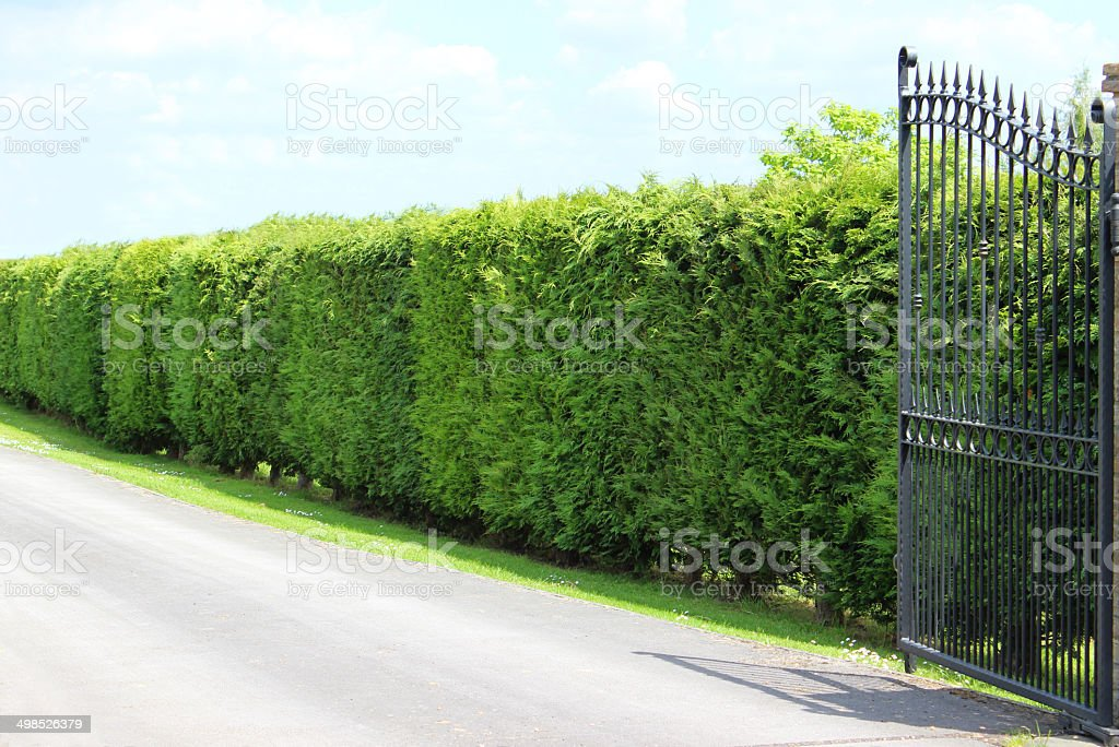 Image of tall Leyland cypress / Cupressus Leylandii hedge, driveway, gate stock photo