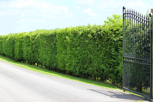 image of tall leyland cypress / cupressus leylandii hedge, driveway, gate - cypress tree stock photos and pictures