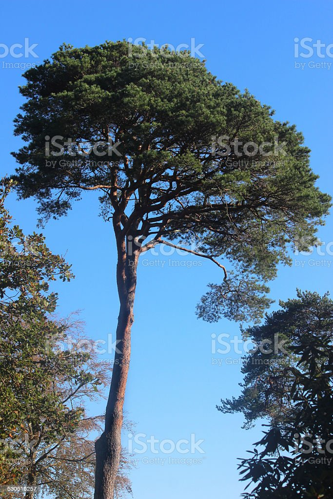 Image of tall Scots pine tree (pinus sylvestris) against sky stock photo