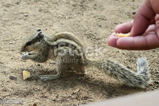 Photo showing a tame Indian palm squirrel or three-striped palm squirrel (Funambulus palmarum), being fed cake crumbs by someone's hand.