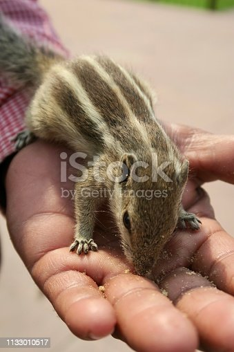 Photo showing a tame Indian palm squirrel or three-striped palm squirrel (Funambulus palmarum), eating biscuit crumbs from someone's hand in the Agra Fort gardens, Uttar Pradesh, India.