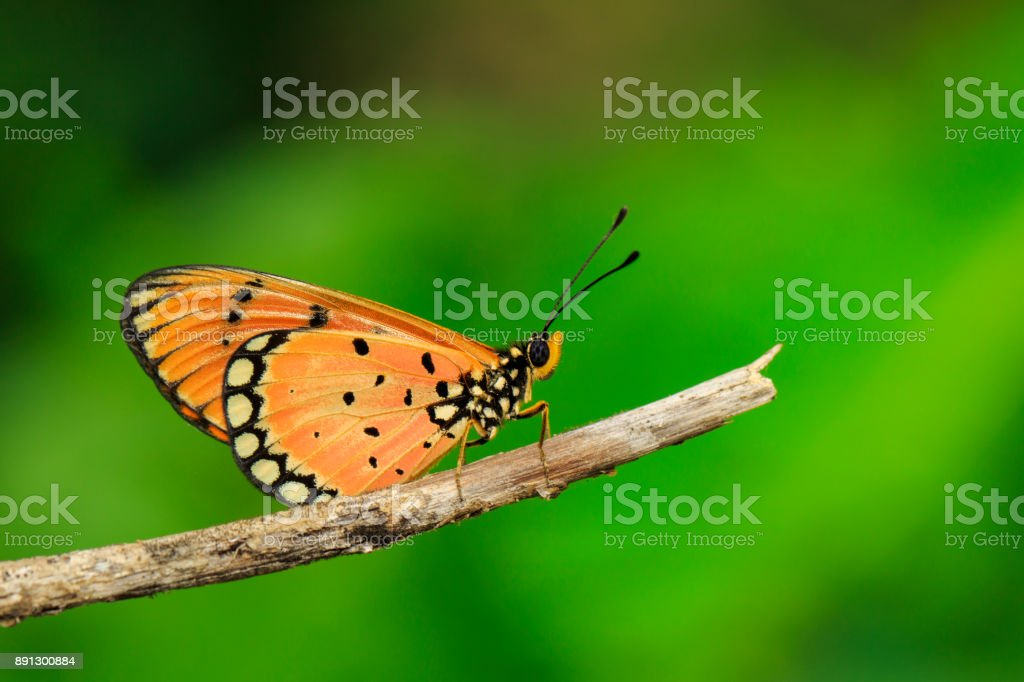 Image of Tawny Coster Butterfly (Acraea violae) on dry branches on the natural background. Insect. Animal. stock photo