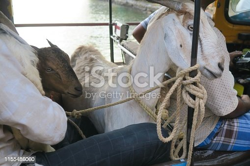 Stock photo showing goats tethered by rope, being transported with unrecognisable people in an auto rickshaw, Kollam, Kerela, India.