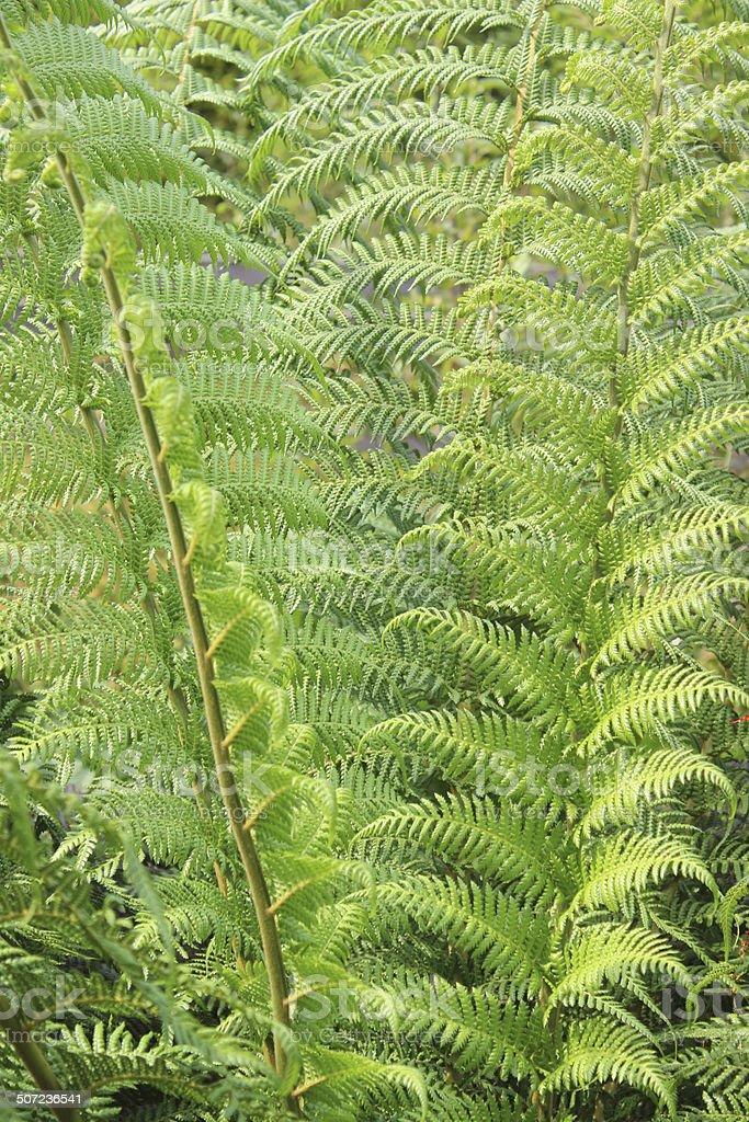 Image of tree fern / treefern growing in bog-garden (dicksonia antarctica) stock photo