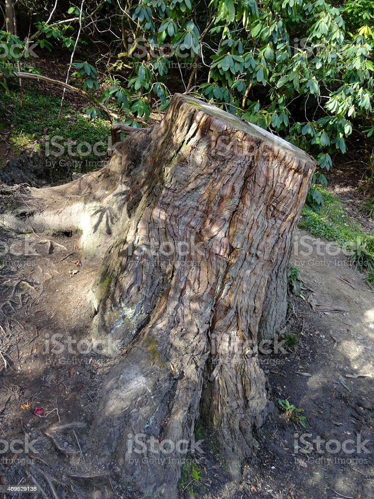 Image of tree trunk buttress after being chopped-down with chainsaw stock photo