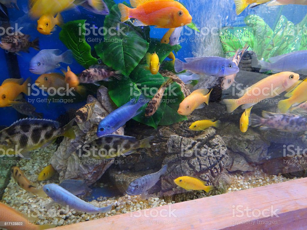 Image of tropical aquarium / fish tank of Malawi cichlids school stock photo