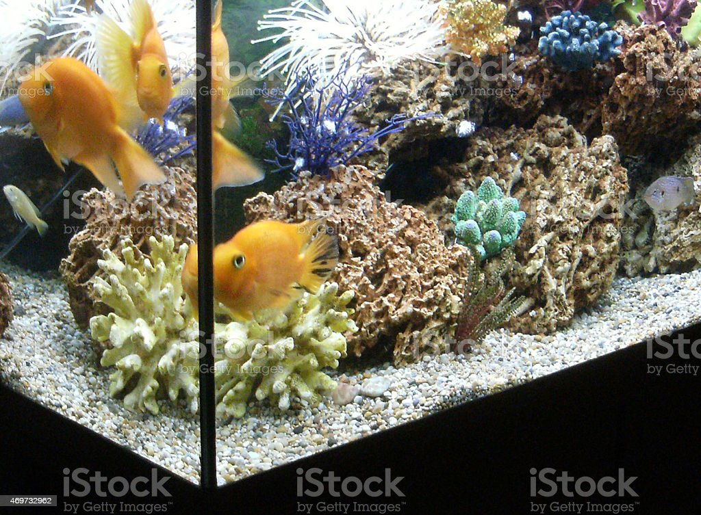 image of tropical fish tank with parrot cichlid fish royaltyfree