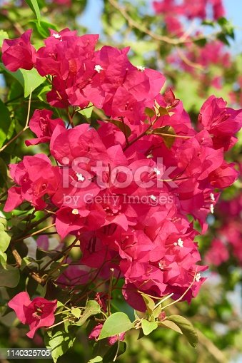 Photo showing pretty bright pink bougainvillea flowers bracts in the summer sunshine. These exotic pink bougainvillea flowers and colourful bracts are popular in the garden, often being grown as summer climbing plants / ornamental vines or flowering houseplants, in tropical hanging baskets or as patio pot plants.